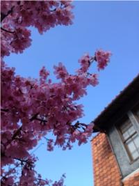 Kanzakura é uma das primeiras espécies de sakura a florescer