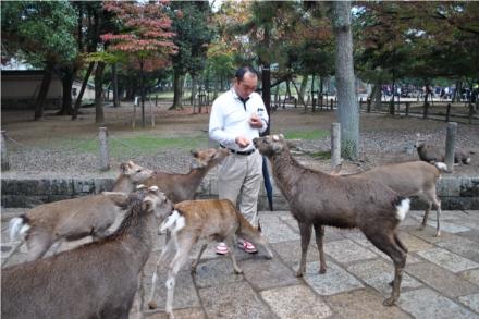 Os cervos ficam soltos pela cidade, principalmente nos parques e nos entornos dos templos