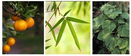 As folhas de tangerina, de bambu e de Paulownia