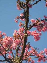 Spa promove Festa das Cerejeiras no dia 12 de julho