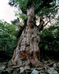 Jomon sugi é considerada uma das árvores mais antigas do Japão