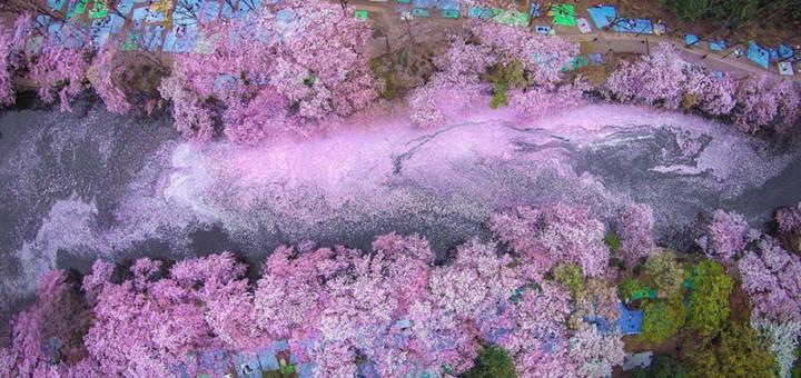Fotos incríveis de sakura