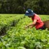 Elisabete mostra como é feita a colheita do chá artesanal Obaachan