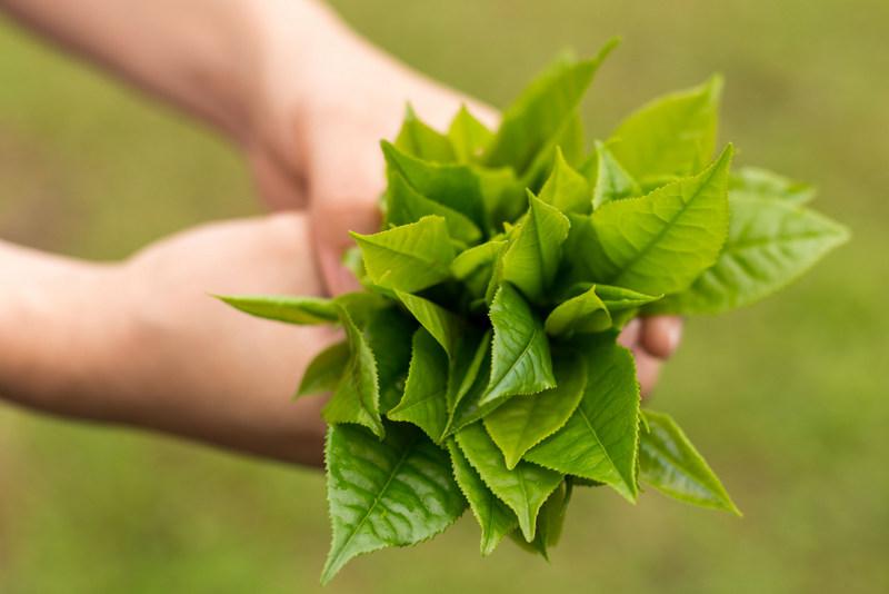Depois de colhidas, as folhas são levadas para o processamento