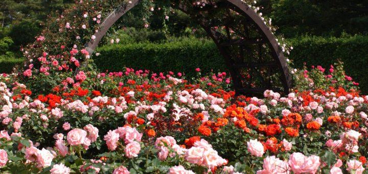 Ibaraki, a província das rosas