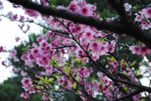 flor-de-cerejeira