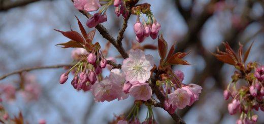 flor cerejeira sakura