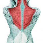 Flexão vertical, músculo trapézio